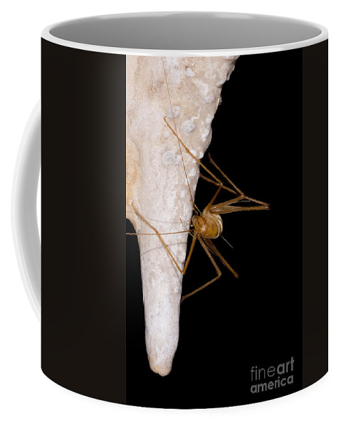 Ceuthophilus Coffee Mug featuring the photograph Chinese Cave Cricket by Dant� Fenolio