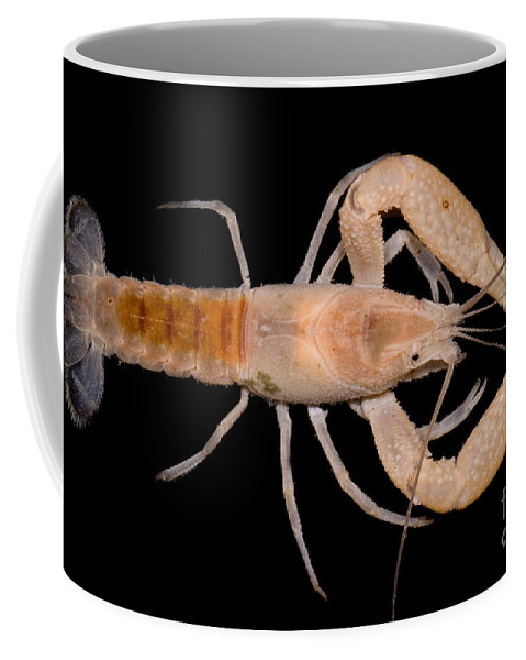 Miami Cave Crayfish Coffee Mug featuring the photograph Miami Cave Crayfish by Dante Fenolio