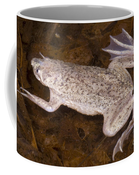 Pipa Parva Coffee Mug featuring the photograph Sabana Surinam Toad by Dante Fenolio