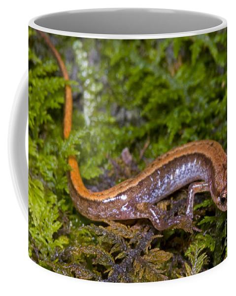 Wildlife Coffee Mug featuring the photograph Seepage Salamander by Dante Fenolio