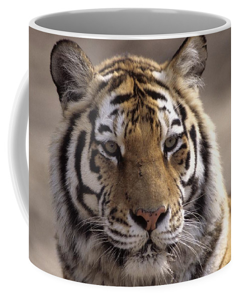 Outdoors Coffee Mug featuring the photograph Tiger, Qinhuangdao Zoo, Hebei Province by Raymond Gehman
