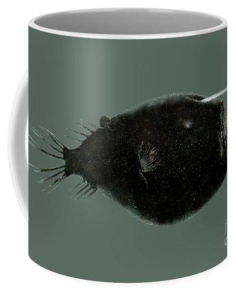 Anglerfish Coffee Mug featuring the photograph Triplewart Seadevil by Dante Fenolio