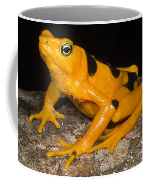 Nature Coffee Mug featuring the photograph Harlequin Toad by Dante Fenolio