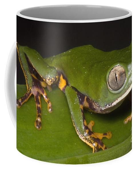 Phyllomedusa Tomopterna Coffee Mug featuring the photograph Tiger Stripe Monkey Frog by Dante Fenolio
