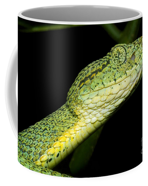 Bothriopsis Bilineata Smaragdin Coffee Mug featuring the photograph Two Striped Forest Pit Viper by Dante Fenolio