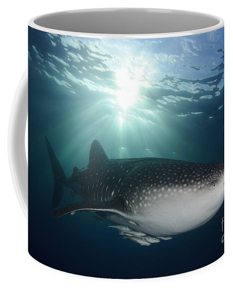 Symbiotic Relationship Coffee Mug featuring the photograph Whale Shark Feeding Under Fishing by Steve Jones