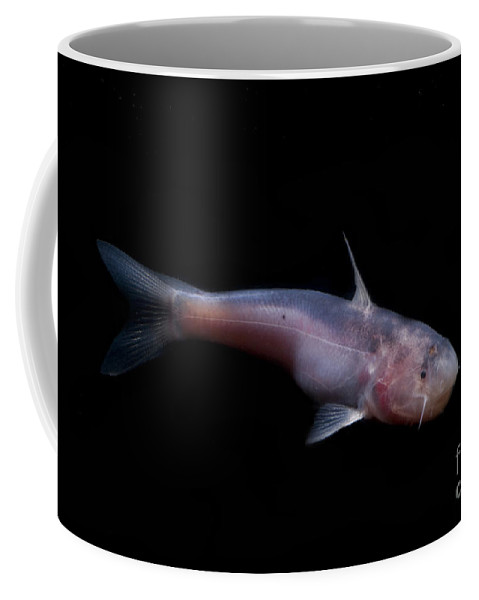 Cetopsis Coecutiens Coffee Mug featuring the photograph Amazon River Catfish by Dante Fenolio