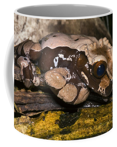 Anotheca Spinosa Coffee Mug featuring the photograph Crowned Tree Frog by Dante Fenolio