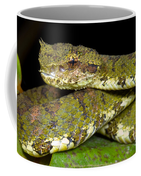 Eyelash Viper Coffee Mug featuring the photograph Eyelash Viper by Dante Fenolio
