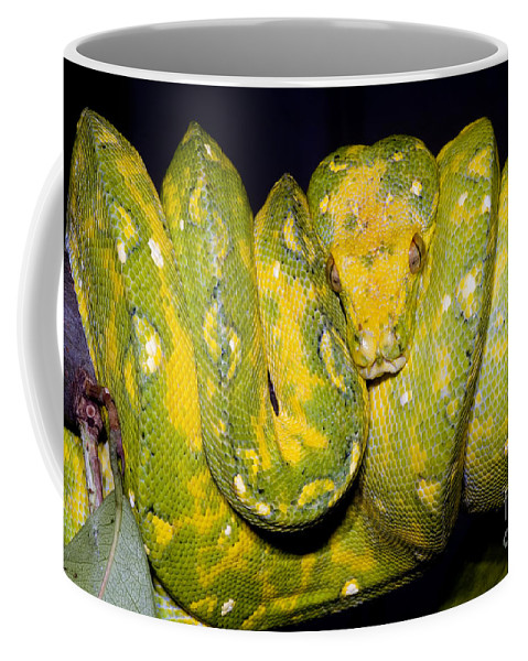 Green Tree Python Coffee Mug featuring the photograph Green Tree Python by Dante Fenolio