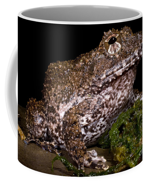 Strobomantidae Coffee Mug featuring the photograph Rusty Robber Frog by Dante Fenolio