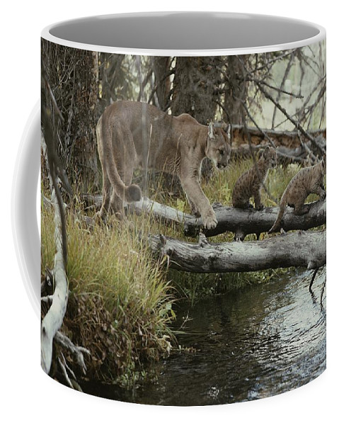 North America Coffee Mug featuring the photograph A Mountain Lion, Felis Concolor by Jim And Jamie Dutcher