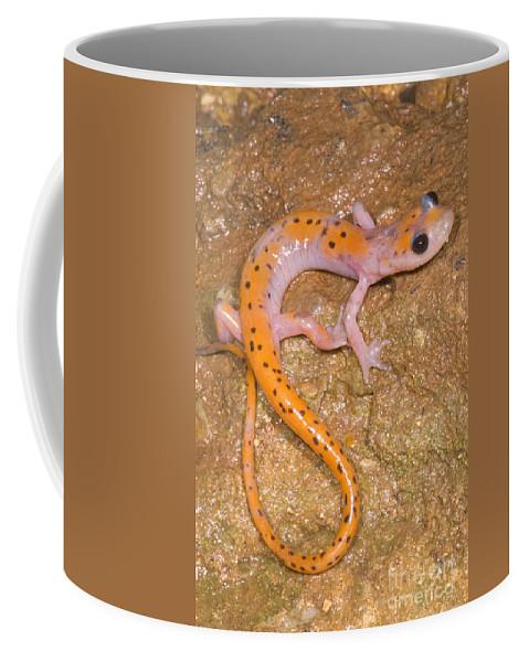 Eurycea Lucifuga Coffee Mug featuring the photograph Cave Salamander by Dante Fenolio