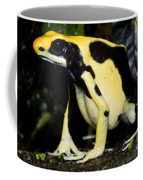 Animal Coffee Mug featuring the photograph Dyeing Poison Frog by Dante Fenolio