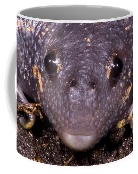 Rhinophrynidae Coffee Mug featuring the photograph Mexican Burrowing Toad by Dante Fenolio