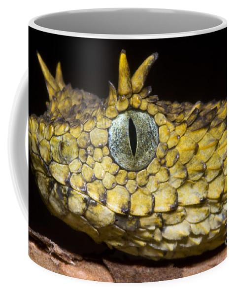 Atheris Ceratophora Coffee Mug featuring the photograph Usambara Eyelash Bush Viper by Dante Fenolio