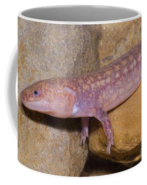 Gyrinophilus Subterraneus Coffee Mug featuring the photograph West Virginia Spring Salamander by Dante Fenolio