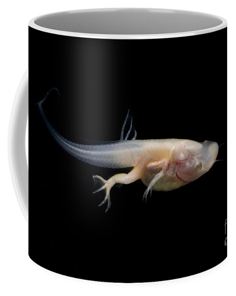 African Clawed Frog Coffee Mug featuring the photograph African Clawed Frog Tadpole by Dante Fenolio