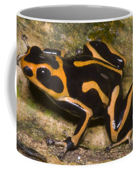 Crowned Poison Frog Coffee Mug featuring the photograph Crowned Poison Frog by Dante Fenolio