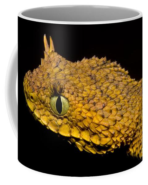 Atheris Ceratophora Coffee Mug featuring the photograph Usambara Eyelash Bush Viper by Dante Fenolio