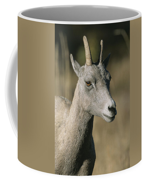 North America Coffee Mug featuring the photograph A Close View Of A Bighorn Sheep Ewe by Tom Murphy