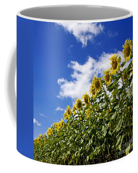 Agriculture Coffee Mug featuring the photograph A Field Of Sunflowers . Auvergne. France by Bernard Jaubert