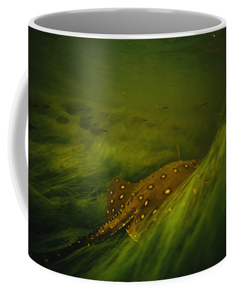 Underwater Coffee Mug featuring the photograph A Freshwater Stingray Swims In A Meadow by Joel Sartore