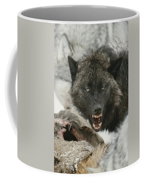 Subject Coffee Mug featuring the photograph A Gray Wolf, Canis Lupus, Growls by Jim And Jamie Dutcher