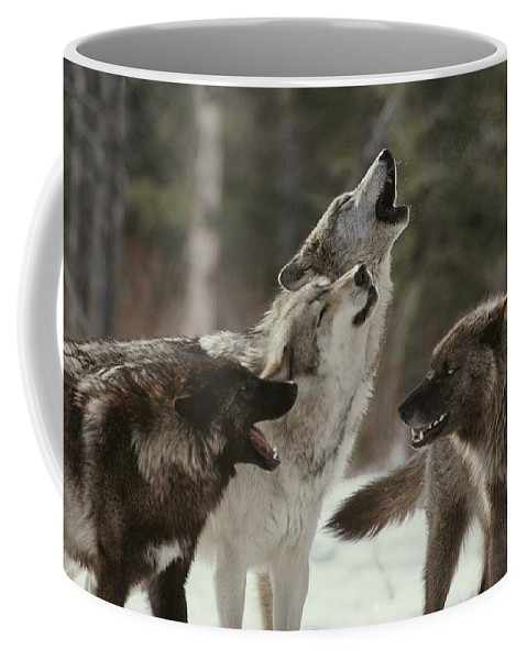 Subject Coffee Mug featuring the photograph A Group Of Gray Wolves, Canis Lupus by Jim And Jamie Dutcher