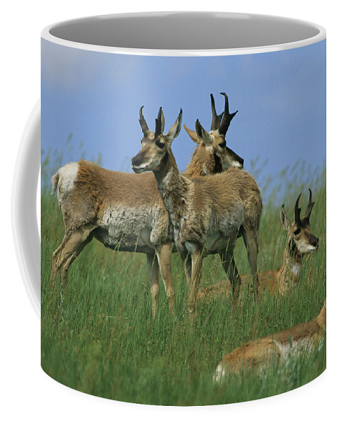 North America Coffee Mug featuring the photograph A Group Of Pronghorns In Buffalo Gap by Annie Griffiths