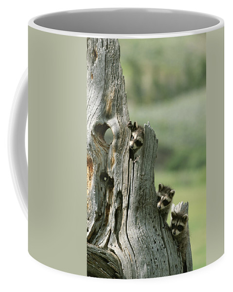 Animals Coffee Mug featuring the photograph A Group Of Young Racoons Peer by Norbert Rosing
