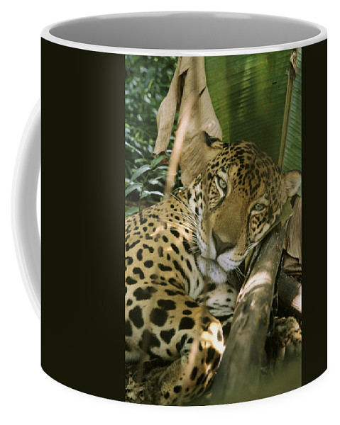 Animals Coffee Mug featuring the photograph A Jaguar Rests On The Jungle Floor by Ed George