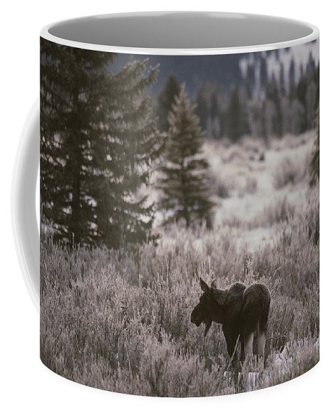 Outdoors Coffee Mug featuring the photograph A Moose In A Frost-covered Field, Grand by Raymond Gehman