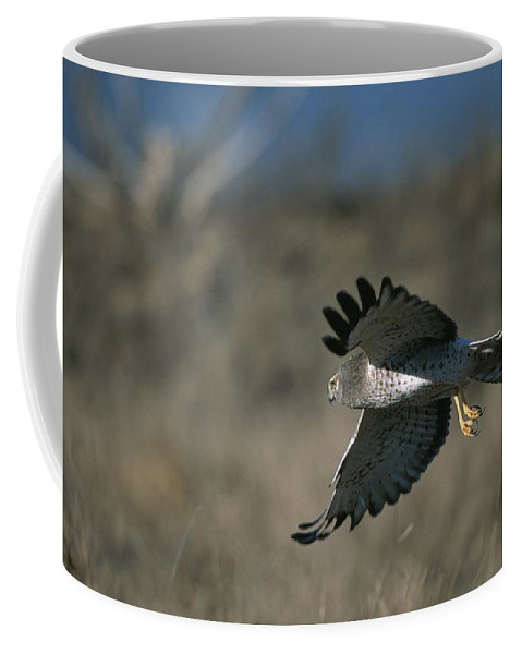 Animals Coffee Mug featuring the photograph A Northern Harrier Hawk In Flight by Roy Toft