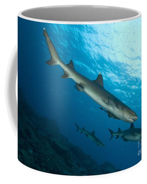 Kimbe Bay Coffee Mug featuring the photograph A Trio Of Whitetip Reef Sharks, Kimbe by Steve Jones