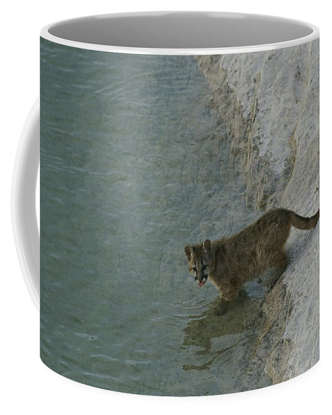 Animals Coffee Mug featuring the photograph A Young Mountain Lion Prepares To Take by Norbert Rosing