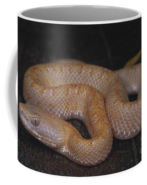Nature Coffee Mug featuring the photograph Albino Slender Hognosed Pitviper by Dante Fenolio