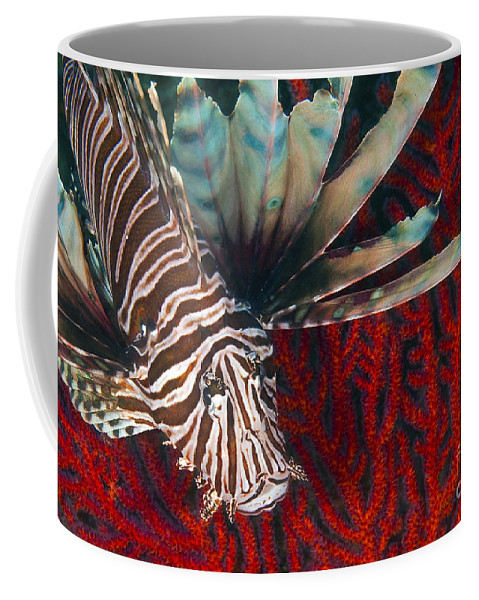 Atlantic Ocean Coffee Mug featuring the photograph An Invasive Indo-pacific Lionfish by Karen Doody