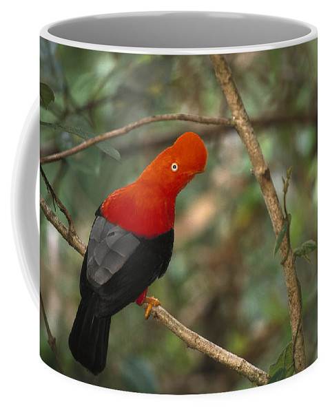 Mp Coffee Mug featuring the photograph Andean Cock-of-the-rock Rupicola by Pete Oxford