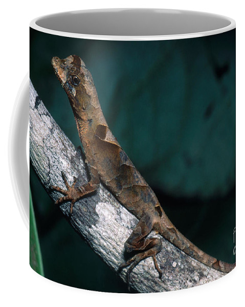 Yellow-tongued Anole Coffee Mug featuring the photograph Anolis Lizard, Ecuador by Dante Fenolio