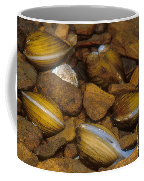 Asiatic Clam Coffee Mug featuring the photograph Asiatic Clam by Dante Fenolio