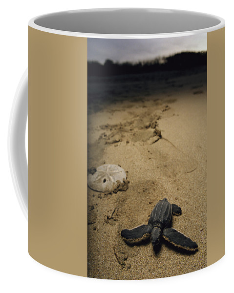 Central America Coffee Mug featuring the photograph Baby Leatherback Turtle On Beach by Steve Winter
