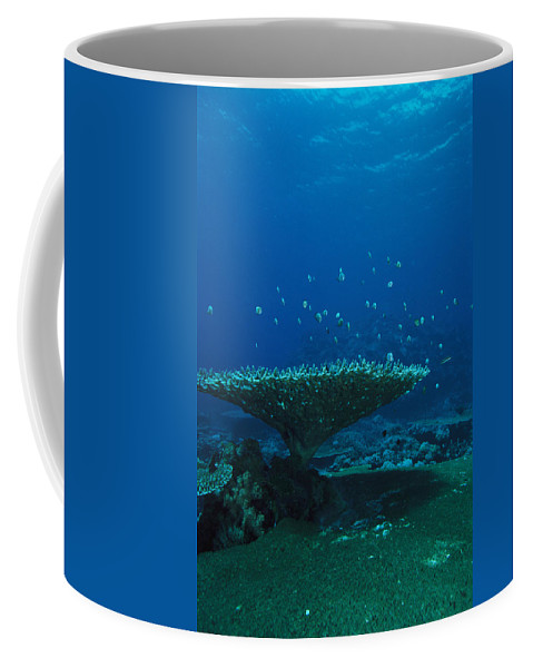 Underwater Photography Coffee Mug featuring the photograph Banded Damselfish Swim by Heather Perry