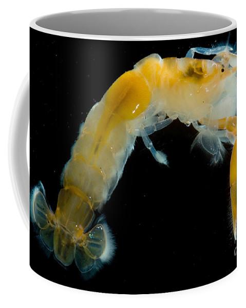 Callianassa Californiensis Coffee Mug featuring the photograph Bay Ghost Shrimp by Dant� Fenolio