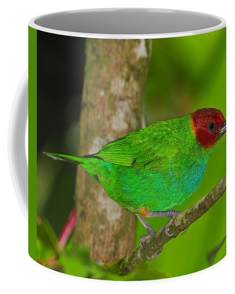 Bay-headed Tanager Coffee Mug featuring the photograph Bay-headed Tanager by Tony Beck