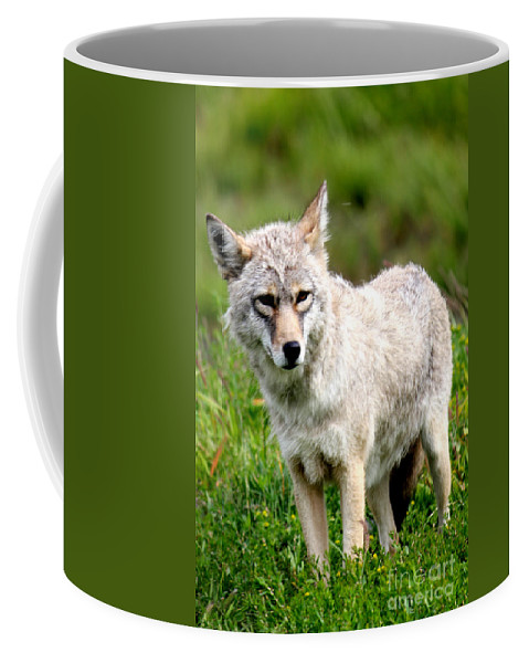 Coyote Coffee Mug featuring the photograph Beautiful Coyote In Alaska by Kathy White