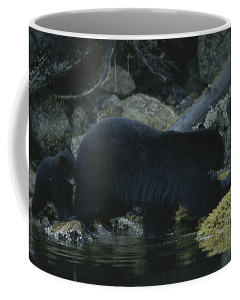 North America Coffee Mug featuring the photograph Black Bear With Her Young Cub Tagging by Joel Sartore