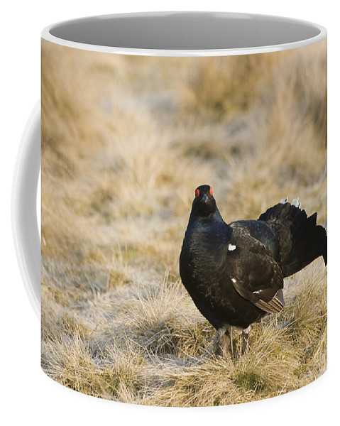 Black Grouse Coffee Mug featuring the photograph Black Grouse Displaying On A Lek by Howard Kennedy
