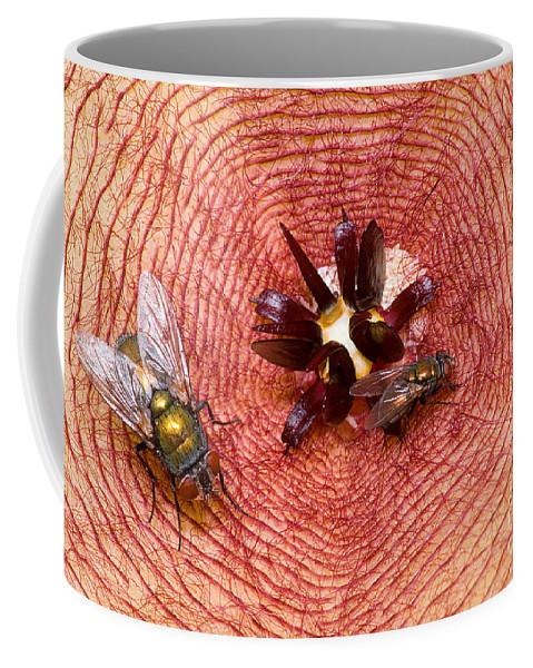 Stapelia Gigantea Coffee Mug featuring the photograph Blowflies On Stapelia by Dant� Fenolio