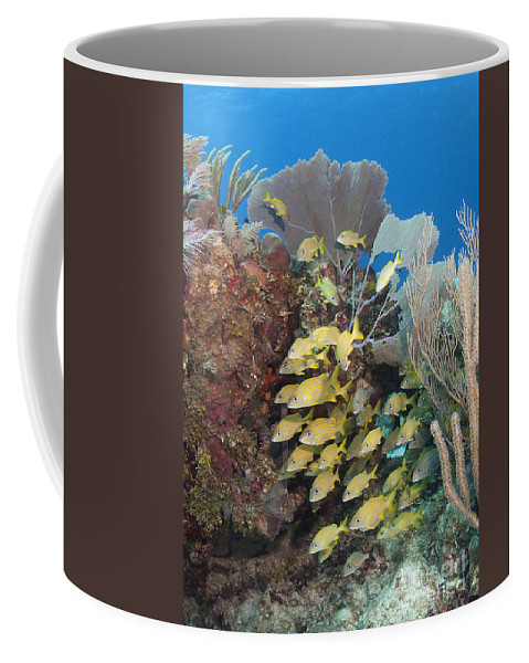 Blue Striped Grunt Coffee Mug featuring the photograph Blue Striped Grunts Schooling by Karen Doody